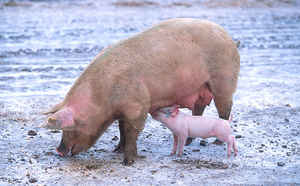 image: swine flu