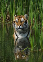 image: tiger in water 