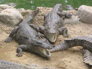 image: crocodiles laughing