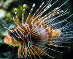 image: lionfish 