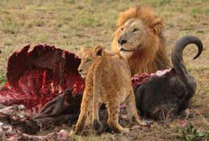 image: lions_buffalo